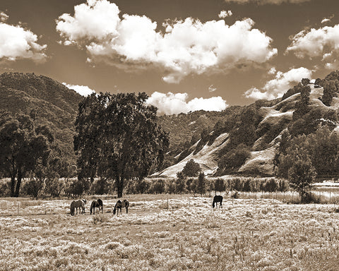 Coastal Valley Horses and Oaks, Sepia California Metal Print