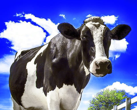 Cow Closeup, Happy Holstein of California