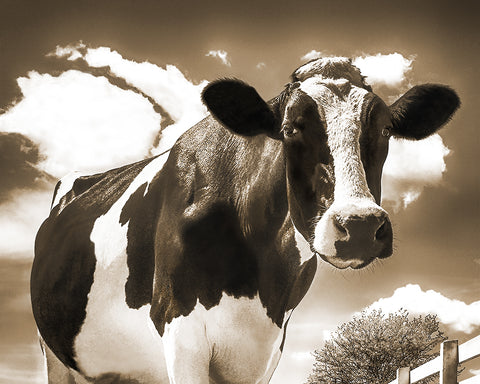 Cow Closeup, Happy Holstein of California, Sepia