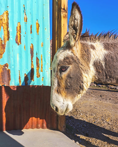 Donkey and Vibrant Wall, Oatman, Arizona