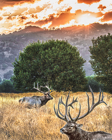 Elk Sunset Metal Print