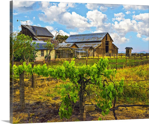 Barn and Vine Canvas