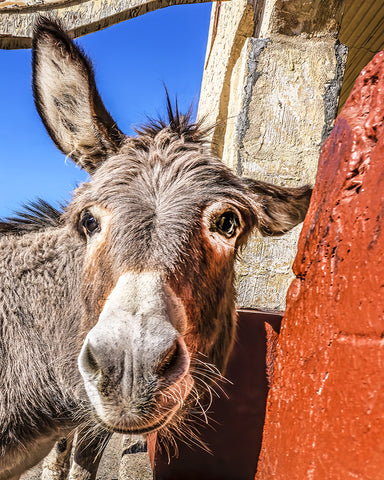 Goofy Donkey, Oatman, Arizona