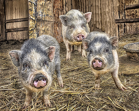Interrupting Dinner, Three Little Piggies Metal Print