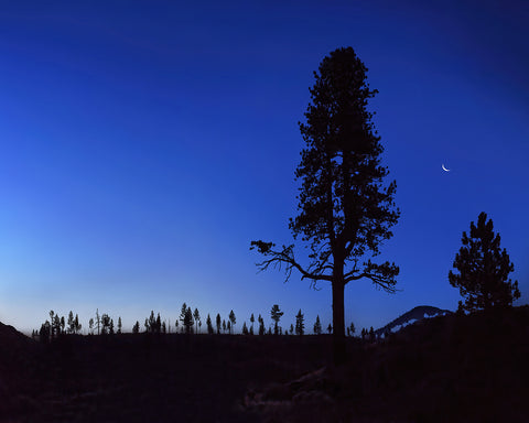 Crescent Moon and Trees, Eastern Sierras, California Standard Art Print