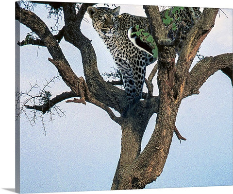 Leopard in Waiting Canvas