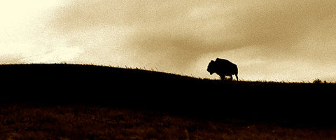 Lone Buffalo Panoramic Standard Art Print
