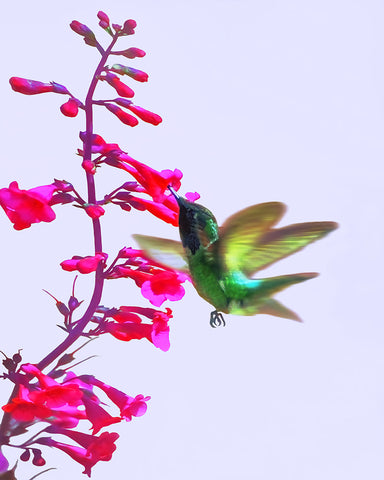 We Love the Hummers! Standard Art Print