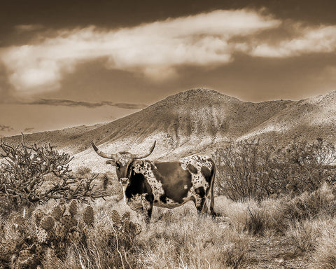 Longhorn, Magnificent Markings Sepia Metal Print
