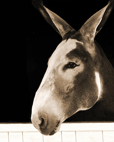 Beautiful Long Ears Sepia