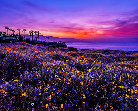 Point Dume Sunrise Sunflowers, California