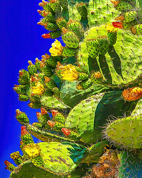 Prickly Pear Bloom Metal Print