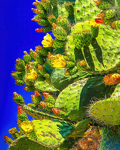 Prickly Pear Bloom Standard Art Print