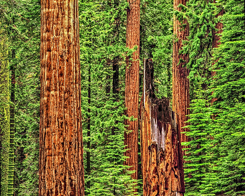 Sequoia Redwoods Metal Print