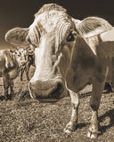 How Can You Not Love This Face? Sepia Metal Print