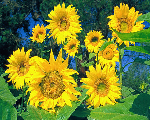 Sunflowers, The Happy Flower Standard Art Print