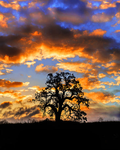 Sunrise Oak Vertical Metal Print