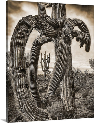 Twisted Saguaro Sepia Canvas