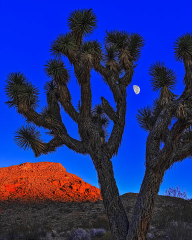 Joshua Tree and Moon, Gold Butte National Monument, Nevada