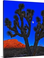 Joshua Tree and Moon Canvas