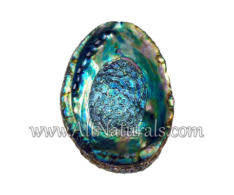 "Hand Selected Abalone Shell (6"") Large"