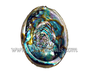 "Hand Selected Abalone Shell (5.5"") Medium"