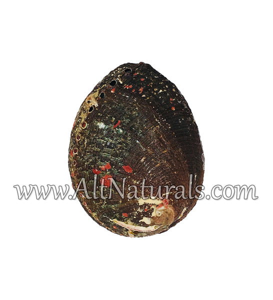 "Hand Selected Abalone Shell (5"") Standard"