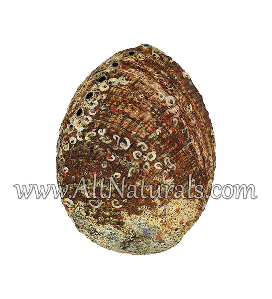 "Hand Selected Abalone Shell (6.5"") Extra Large"