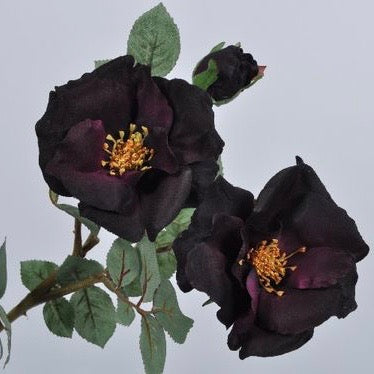 Garden rose purple