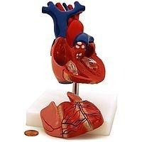 Human Heart Model, 2-Parts, with Stand and Key Booklet (#P25204RT) - Benz Microscope Optics Center