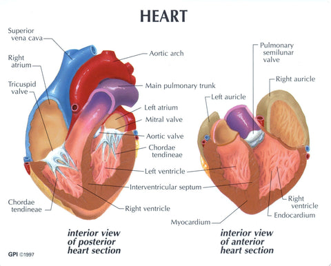 Human Anatomy Heart Model 2 Parts With Stand And Key Card WP502