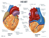 Human Heart Model, 2-Parts with Stand and Key Card (#WP502)