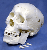 Human Skull Models, Life Sized (#WC 1020) - Benz Microscope Optics Center