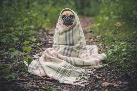 a pug wrapped in a blanket outside, looking very cute and funny