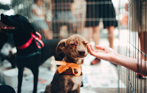 A very happy looking brown-speckled dog wearing an orange bow around its neck is being pet, through the fence at a shelter. Another dog is in the background, standing and happy with black fur and a red bow.