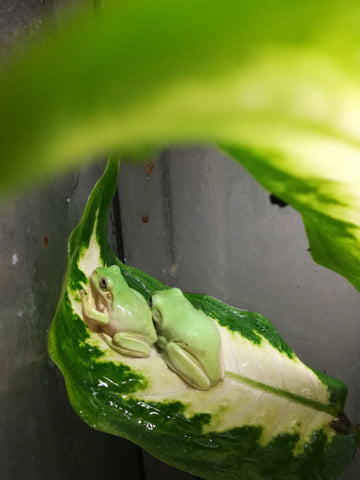 Whites Tree Frogs - cb babies !!