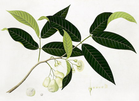 Ornis Gallery Anglo-Indian Botanicals Print 4697