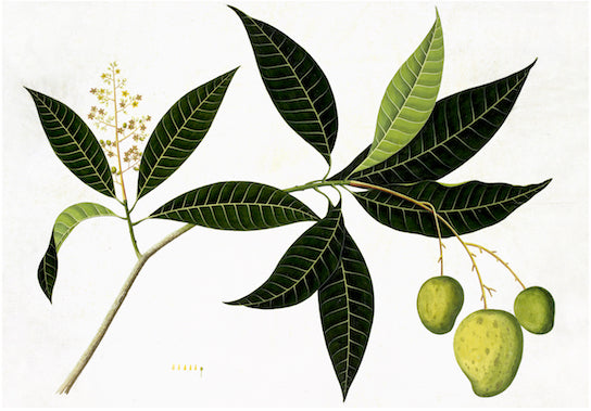 Ornis Gallery Anglo-Indian Botanicals Print 4095