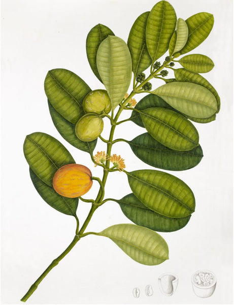 Ornis Gallery Anglo-Indian Botanicals Print 4229