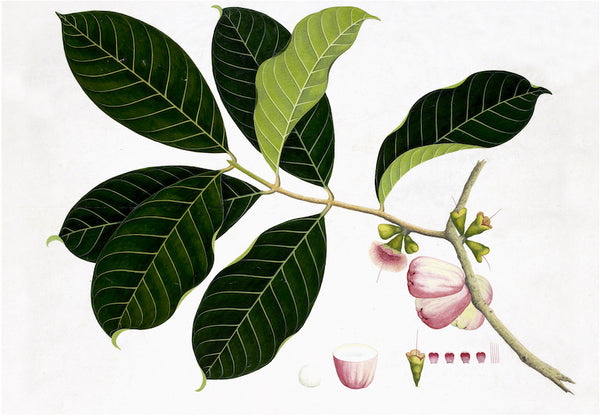 Ornis Gallery Anglo-Indian Botanicals Print 4572