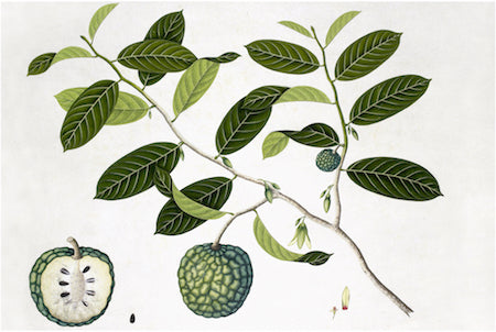 Ornis Gallery Anglo-Indian Botanicals Print 4504