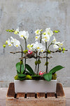 Sweet Orchid Plant