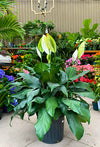 Peace Lily Plant- Take Home