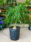 Ponytail Palm Plant - Take Home