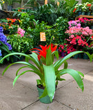 "4"" Bromeliad Plant - Take Home"