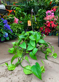 Pothos Hanging Basket - Take Home