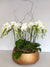 Golden Luxury Orchid Planted Container