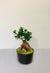 Small Bonsai Tree Indoor Plant