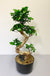 Medium Bonsai Tree Indoor Plant