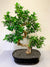 Large Bonsai Tree Indoor Plant